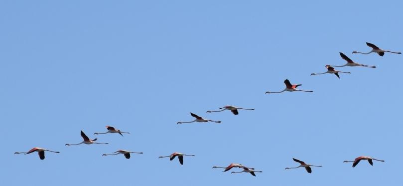 Flamingo_flying_V