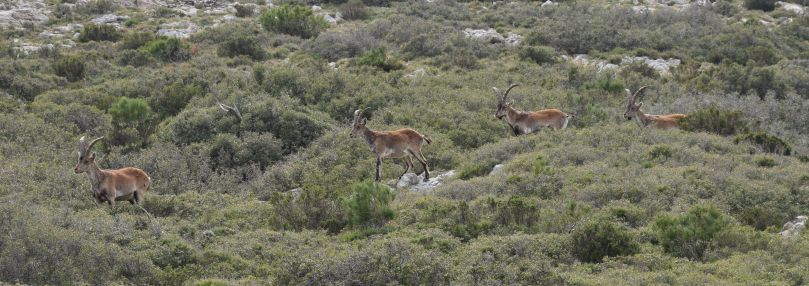 Ibex, Catalonia's endangered mountain goat, spotted in Els Ports.